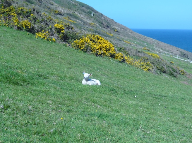Walking down to the coastal path along the stream we found this very young lamb.