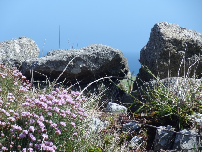 Thrift or sea pink or cliff clover (Armeria maritima) was everywhere in all shades of pink.