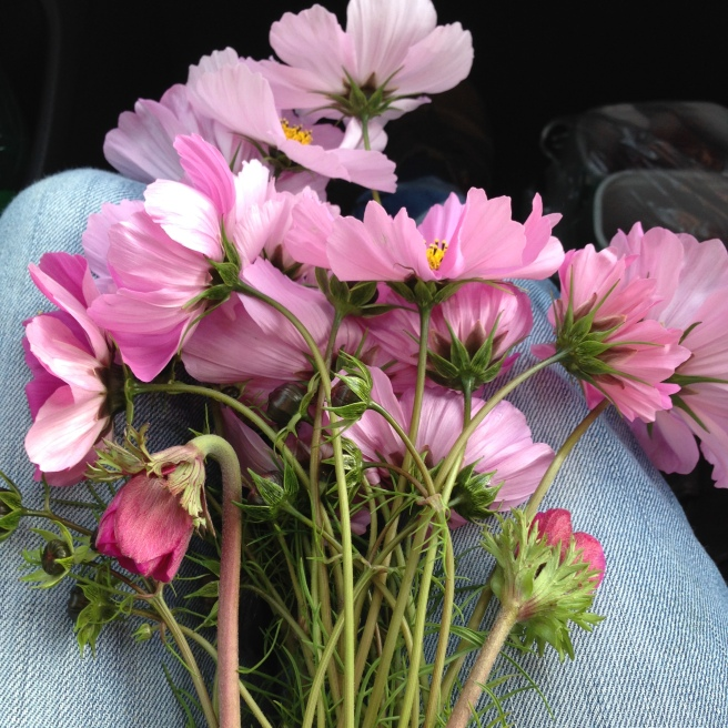 A lapful of cosmos and anemone and two pots of raspberries at my feet. In the back of the car are parsnips, runner beans and leeks to accompany roast pheasant.